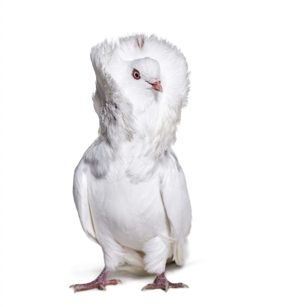 Jacobin pigeon also known as a fancy pigeon or capucin pigeon