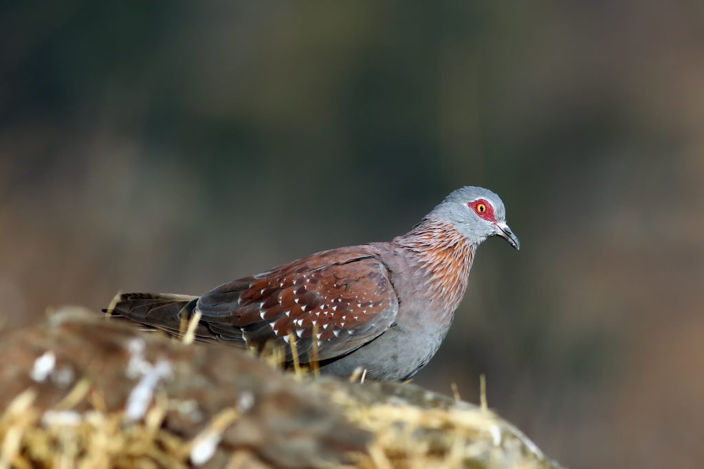 Spekled Pigeon Or Feral Pigeon (columba Guinea) On A Rock